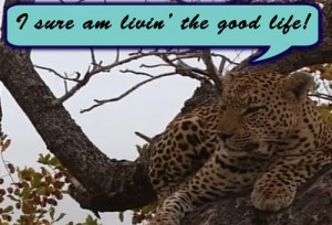 Quote of the Day Image of Leopard in Tree